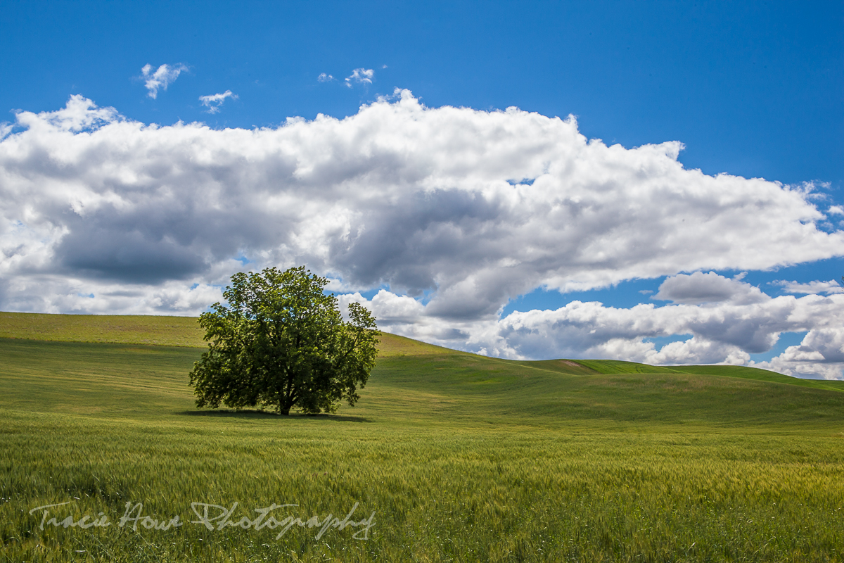 Solitary tree in Palouse