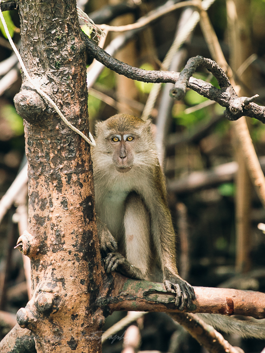 A Mangrove dwelling Macaque in Langkawi