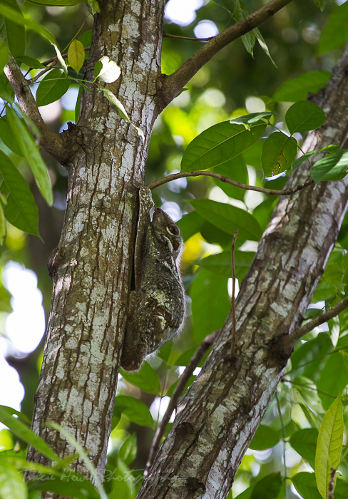 Flying Lemurs in Langkawi