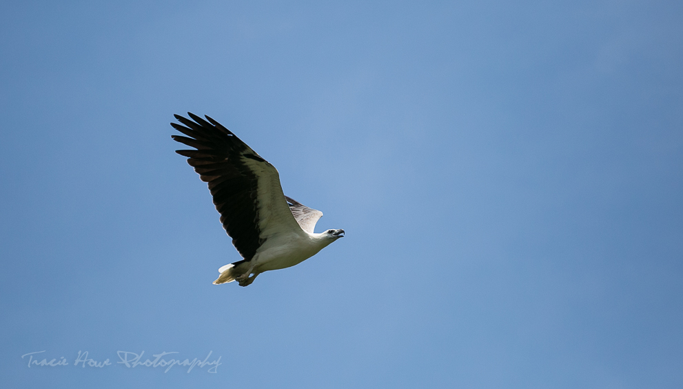A White-bellied Sea Eagle in Langkawi