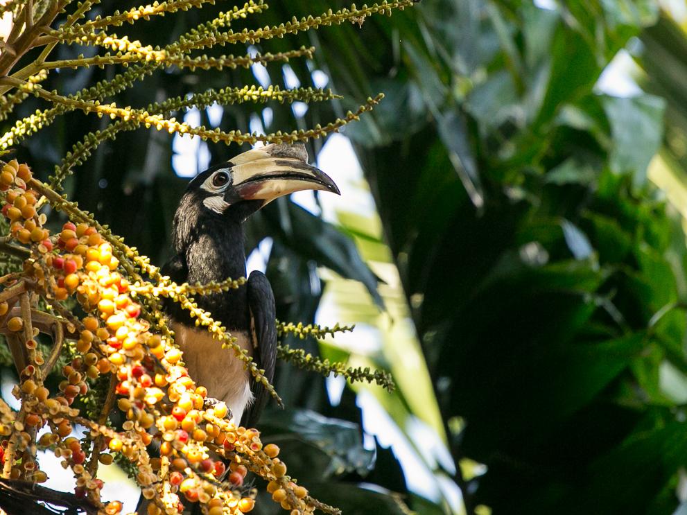 Langkawi wildlife Oriental Pied Hornbill