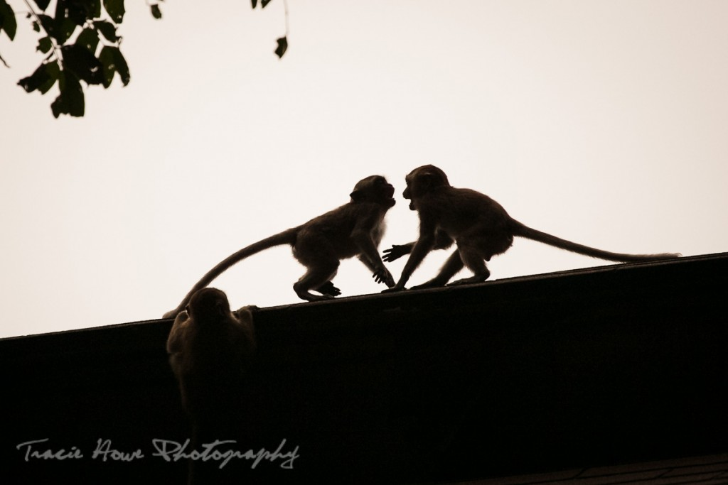 Macaques fighting silhouette