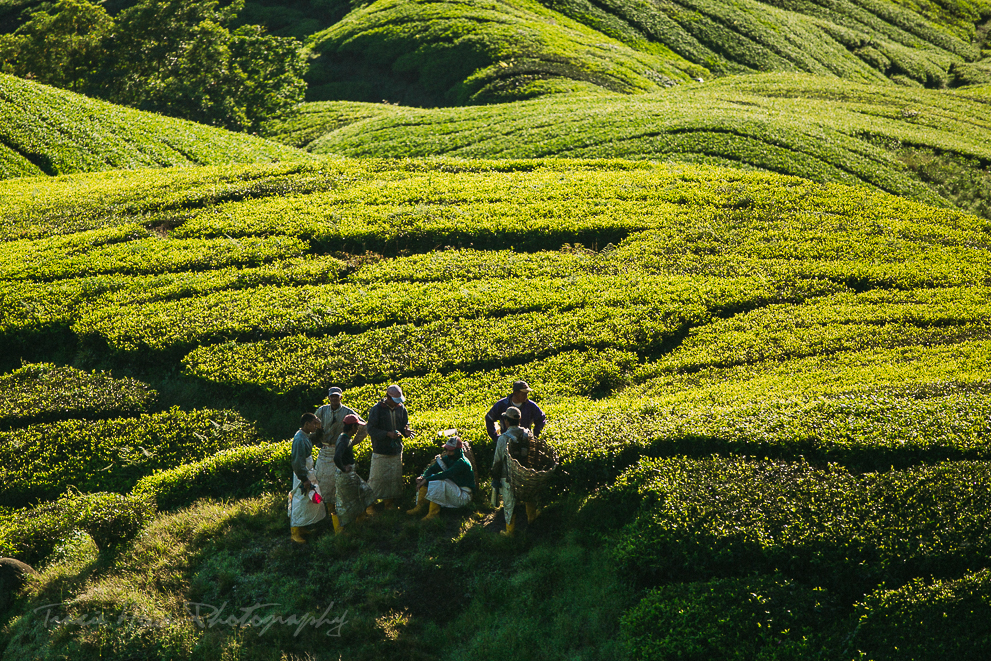 Boh Tea Plantation in Cameron Highlands