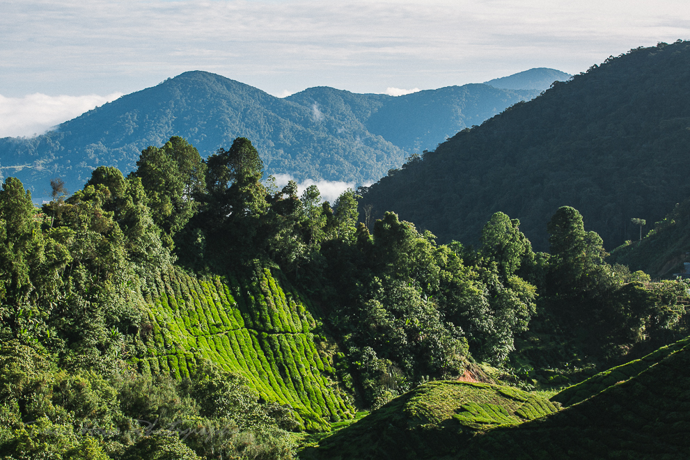 photo of Boh Tea Plantation in Cameron Highlands