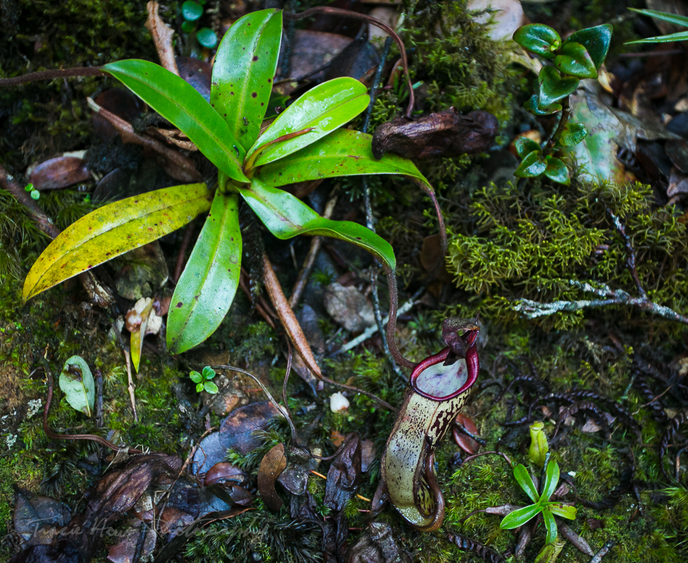 Pitcher Plant in Cameron Highlands mossy forest