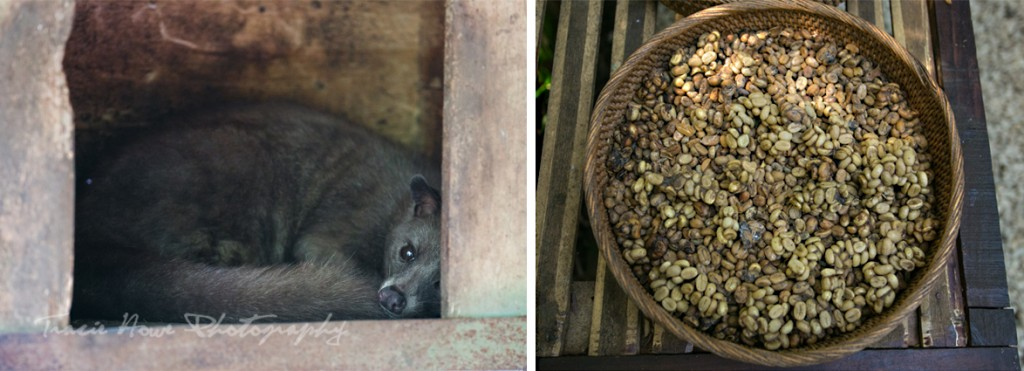 Luwak and coffee poop