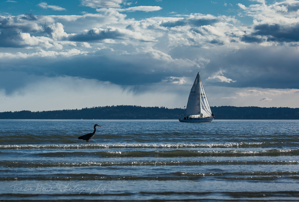 sailboat and Great Blue Heron at Discovery Park