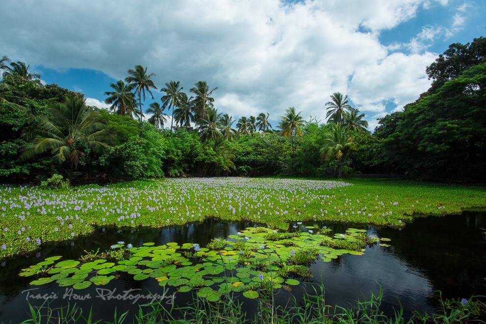 Lily pond at Punalu