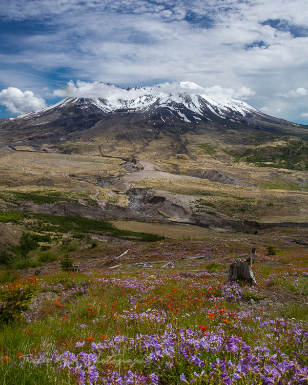 Mount St. Helens wildflowers