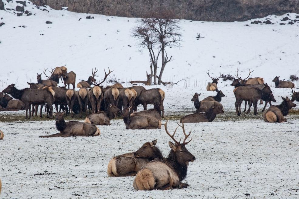 Naches Elk feeding station