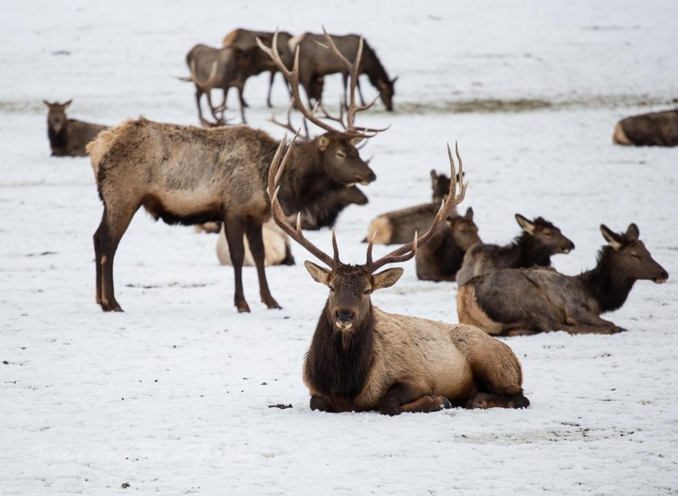 Oak Creek Elk feeding station