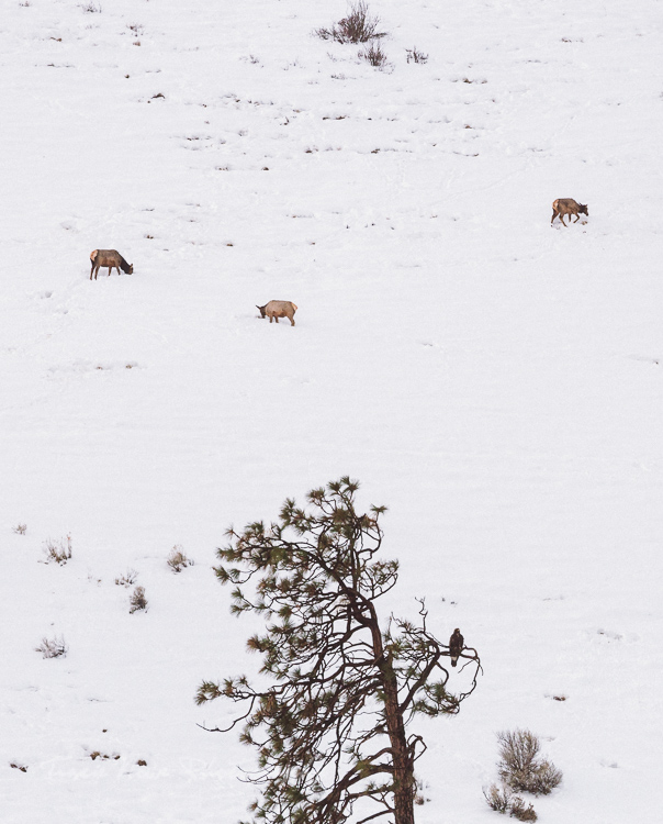 Wild Elk Union Gap