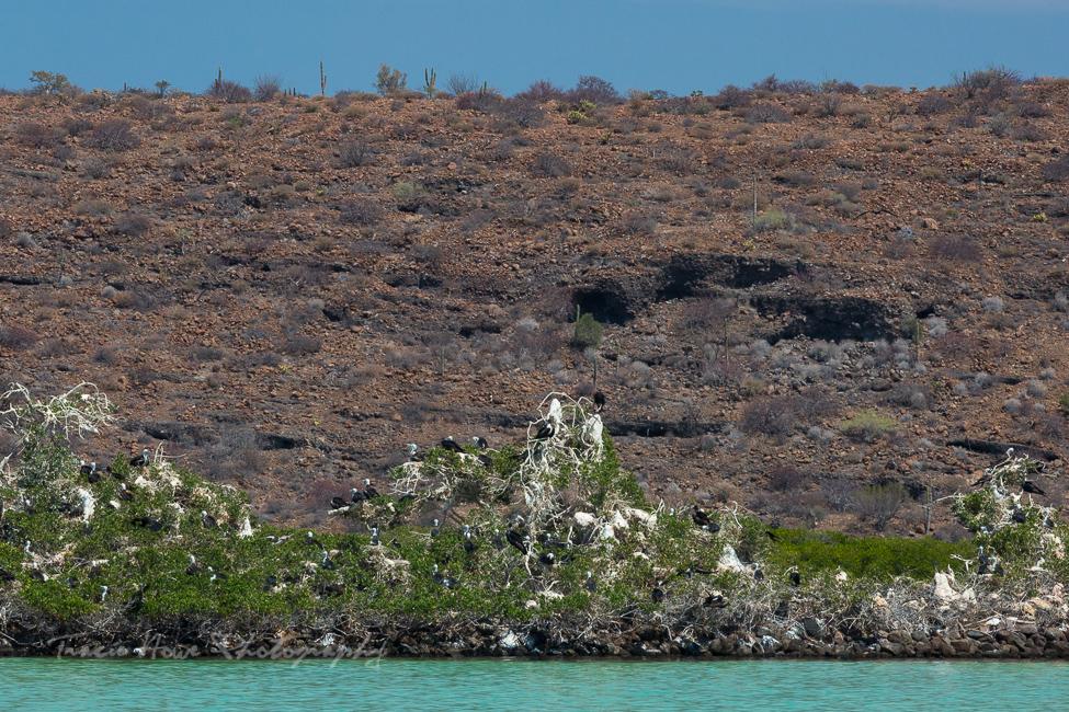 Espíritu Santo Island Frigatebirds