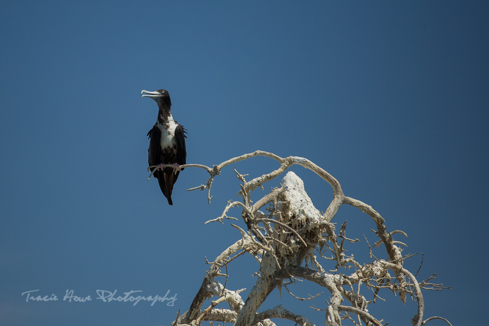 Espíritu Santo Island Frigatebird