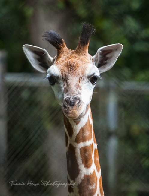 Woodland Park zoo giraffe baby