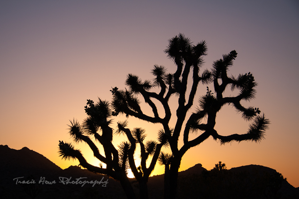 Joshua Tree sunset silhouette photo