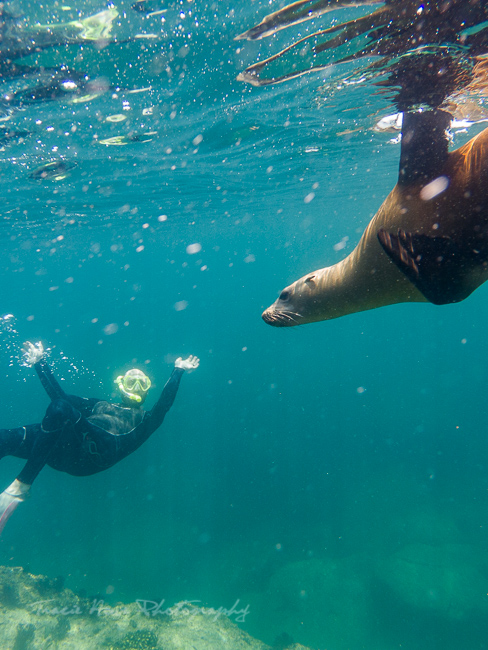 La Paz sea lion swim